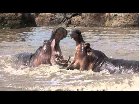 Thumbnail: Hippos Fighting on the Luangwa
