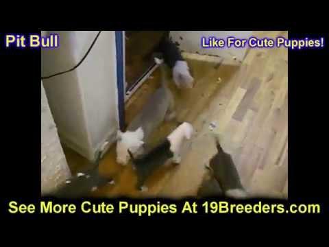 Pitbull, Puppies, For, Sale, In, Newark, New Jersey, NJ, Woodbridge, Iselin, Pleasantville, Roselle,