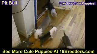 Pitbull, Puppies, For, Sale, in, Mobile, County, Alabama, AL, Huntsville, Morgan, Calhoun, Etowah, H