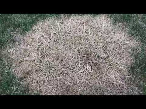 Tall Fescue Clump Removal Youtube
