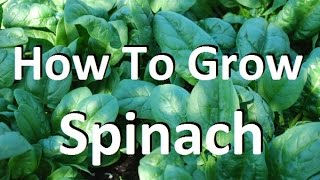 How to Grow Spinach - Complete Growing Guide