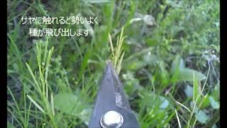 触れると種が飛び散るタネツケバナ