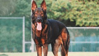 10 Reasons Why You Should Have A GSD