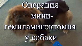 Болезни межпозвоночных дисков у собак  IVDD