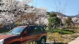 백양사 벚꽃 나들이 다녀오는 길(자막 켜세요)