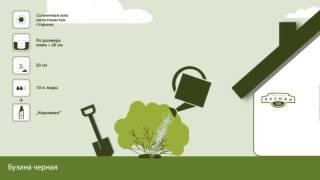 видео Бузина черная и красная, описание, выращивание