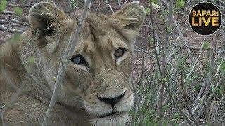 safariLIVE - Sunrise Safari - December 11, 2018