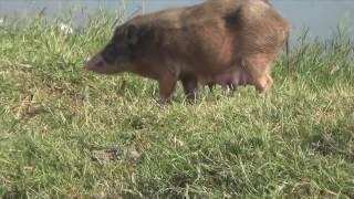 Крысы, свиньи и другие животные рядом с прекрасными дворцами Индии