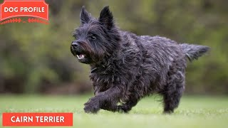 Cairn Terrier   The Small Working Dog