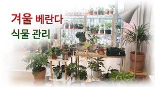겨울철 식물 키우기 (베란다), 겨울철 물주기, 채광,…