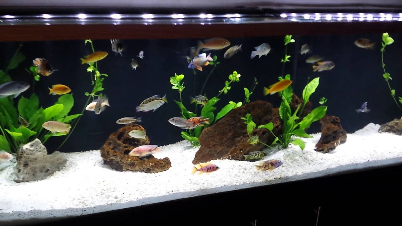 125 gallon planted african cichlid aquarium youtube for 125 gallon fish tank