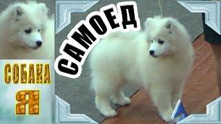 Самоед, выставка собак всех пород Архангельск Русский север