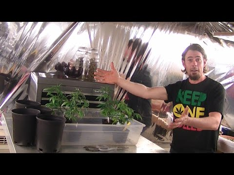 INDOOR ORGANIC CFL GROW season3 episode 4:  TRANSPLANTING CLONES