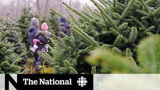 Real versus fake Christmas tree debate returns