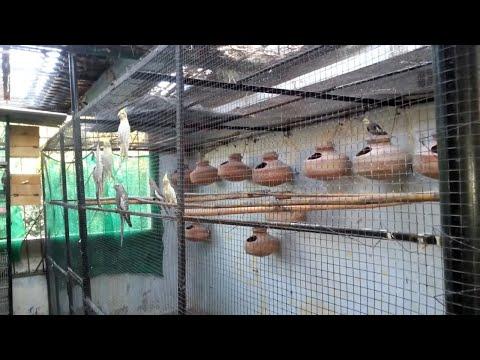 Lotino Lovebirds Breeder Pair Sale In Karachi
