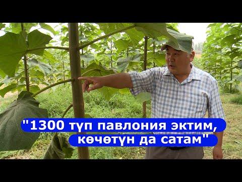 1 гектарга жакын жерге павлония эккен Саибжан Абдыкеримов