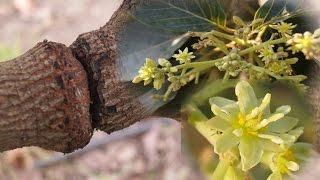 El anillado en el aguacatero para inducir floración