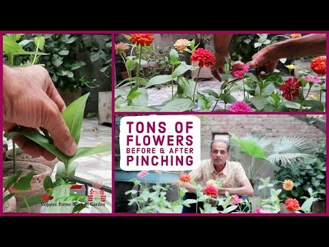 Zinnia's Pinching Before And After To Get Tons Of Flowers |  Veggies Home Kitchen Garden