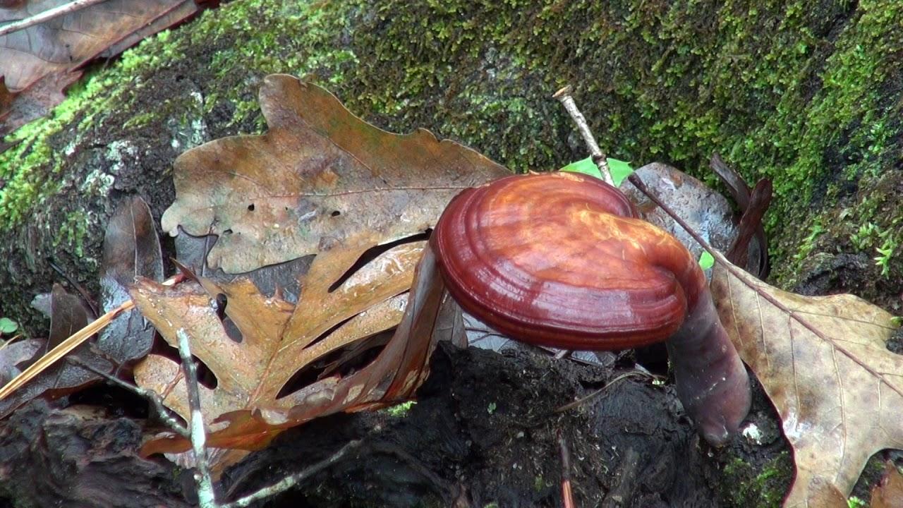pierderea de grăsime de ciuperci reishi