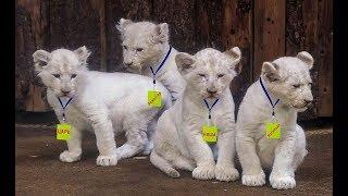 Рождение белых львят  в Крыму!