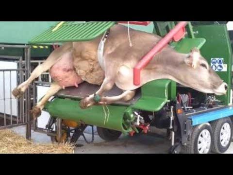 Amazing Engineering WorldWide World Modern Technology Automatic Cow Shoeing and Cleaning Mega Machi
