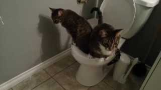 Two cats peeing on the toilet at the same time
