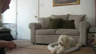 Go To Your Bed Training With Goldendoodle Puppy Ocdoglady.com