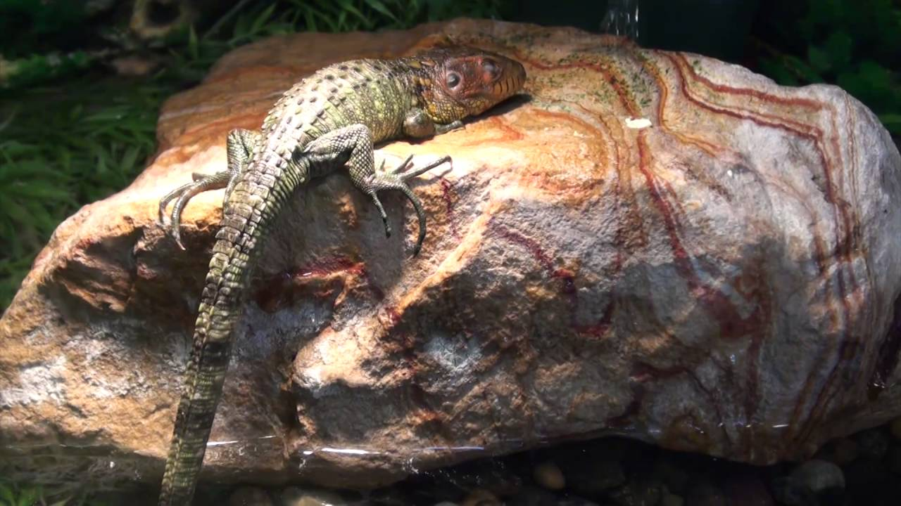 Caiman Lizards For Sale  Buy at Big Apple Pet with Same Day Shipping