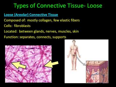 Histology- Connective Tissue