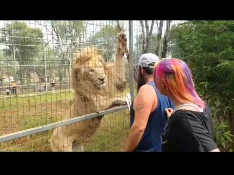 Feeding White Lions and Darling Downs Zoo
