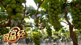 《致富经》 20200526 葡萄架下的甜蜜财富| CCTV农业