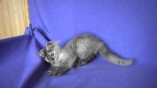 сибирский котенок Хозяйка Леса Из Одиссеи