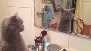 Cat admires himself in the mirror