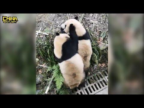 Panda fighting over AN APPLE! 俩熊猫为一个苹果大打出手