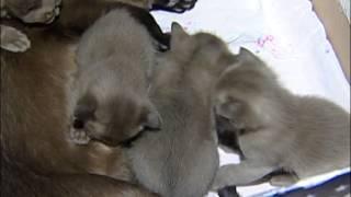 Котята Бурмы Соболиные