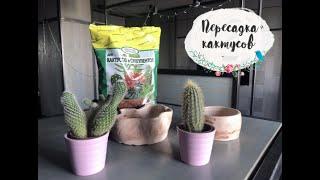 Как легко пересадить кактус / Пересадка кактуса / Как пересаживать кактусы