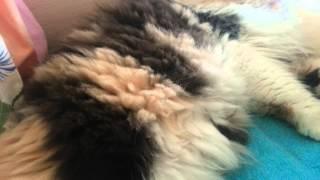 Беременная персидская кошка! 1 день до родов! Котята шевелятся в животике у мамы )