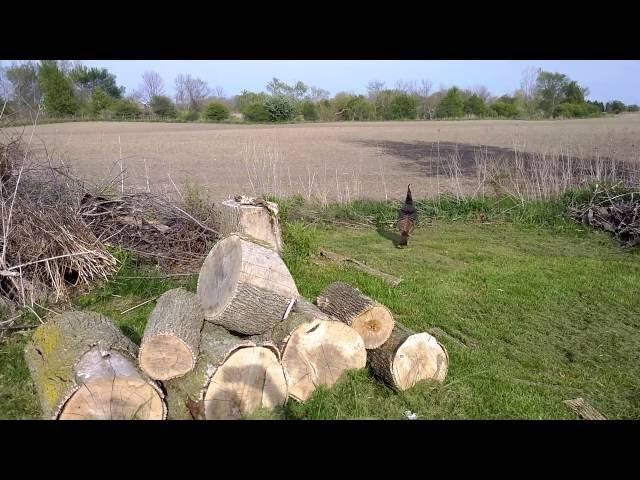 Wild turkey nest with eggs