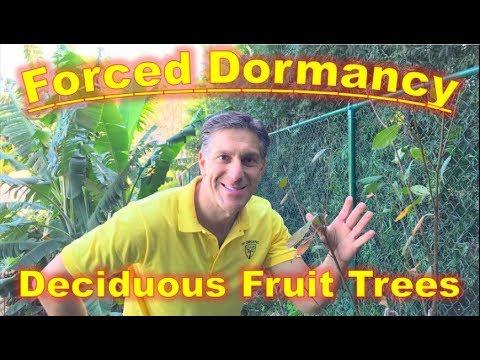 FORCED DORMANCY ON DECIDUOUS FRUIT TREES [PART 2] /  IVO DORMANT FRUIT TREE SPRAY & BRUSH-ON