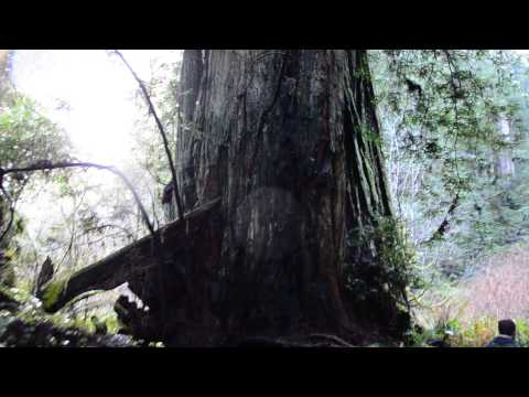 Lost Monarch- World's Biggest Tree & the Grove of Titans- Jed Smith Redwood Park