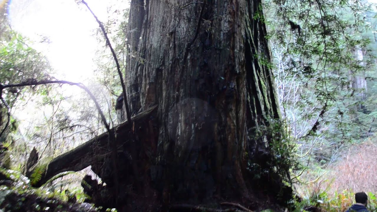 Lost Monarch- World's Biggest Tree & the Grove of Titans ...Lost Monarch Tree