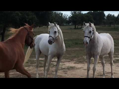 New Horse in the Herd, the grey one, all three are Arabians
