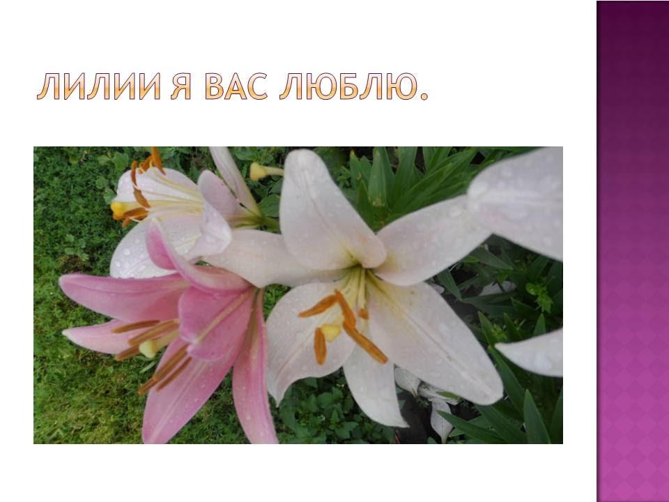 Импорт лилий из голландии. Интернет магазин плантариум доставляет луковицы лилий оптом по всей украине. Тигровые лилии гибриды (80).