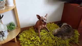 犬 ミニピン クシャミ ミニチュアピンシャー.