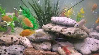 How to add new fish to your aquarium tank