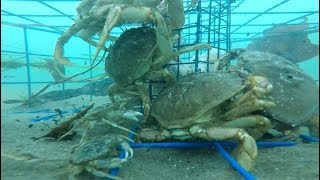 Oregon Crabbing - underwater Gopro video