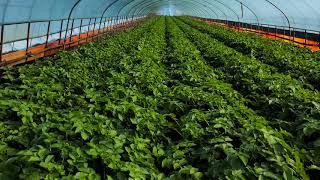 밀양 가을감자 감자재배기술 하우스재배 비료량