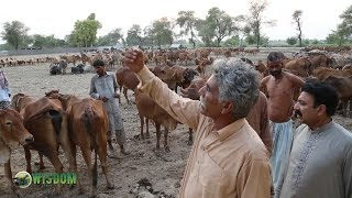 Learn how people grow cattle specially Sahiwal breed Cow in Punjab Pakistan