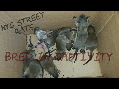 NYC Rats Now Being Bred in Captivity  [ The Beginning ]
