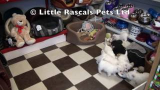 Little Rascals Uk Breeders New Litter Of Westie Puppies